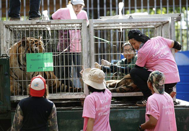 TAI26 SAI YOK (TAILANDIA) 03/06/2016.- Varios veterinarios observan a un tigre después de sedarlo para su traslado en el templo del tigre en la provincia de Kanchanaburi, Tailandia, hoy, 3 de junio de 2016. Miembros del Departamento de Conservación de Parques Naturales encontraron 40 crías de tigre muertas escondidas dentro de un congelador el pasado miércoles. Entre los restos mortales de los animales también se han encontrado recipientes con intestinos y otros órganos que de confirmarse que son recientes apoyarían las acusaciones de los activistas. El templo era un reclamo para turistas que se paseaban y se hacían fotos con los animales, motivo por el que también ha sido criticado durante años por organizaciones defensoras de animales.EFE/Narong Sangnak