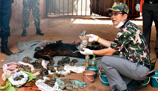 tigres muertos Tailandia