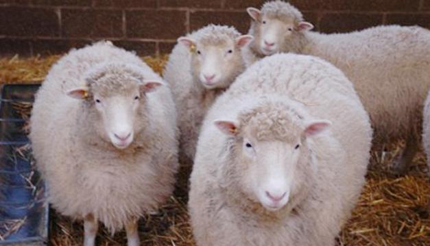 Clones-de-oveja-Dolly