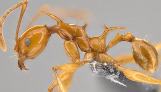 Pheidole-viserio-hormiga-dragon