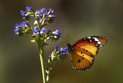 mariposa-flor