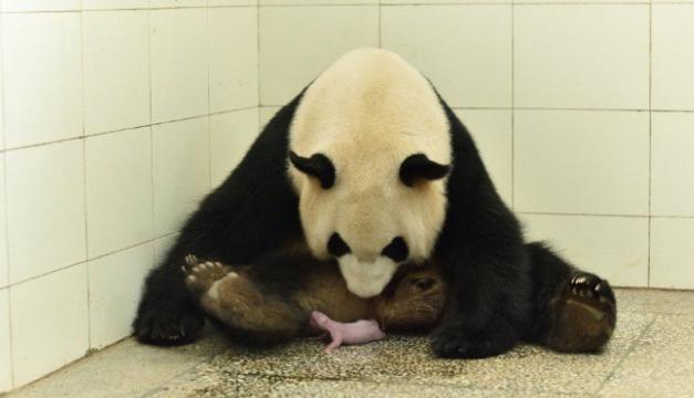 oso panda nacimiento-xinhua