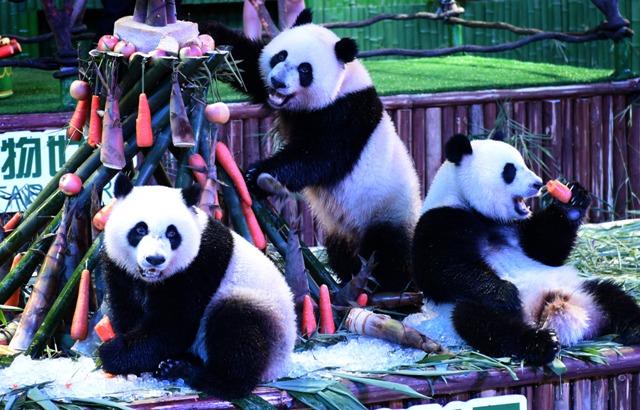 (160729) -- GUANGDONG, julio 29, 2016 (Xinhua) -- Los trillizos de panda gigante, Mengmeng, Shuaishuai y Kuku, comen bambú y zanahorias durante su fiesta de cumpleaños en Guangzhou, capital de la provincia de Guangdong, en el sur de China, el 29 de julio de 2016. Una fiesta para celebrar el segundo cumpleaños de los únicos trillizos sobrevivientes del mundo, que nacieron el 29 de julio de 2014 en Guangzhou, se llevó a cabo en el Parque de Safari Chimelong el viernes. (Xinhua/Lu Hanxin) (rtg)