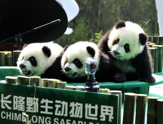 (160729) -- GUANGDONG, julio 29, 2016 (Xinhua) -- Imagen del 15 de diciembre de 2014 de los trillizos de panda gigante, Mengmeng, Shuaishuai y Kuku, jugando en Guangzhou, capital de la provincia de Guangdong, en el sur de China. Una fiesta para celebrar el segundo cumpleaños de los únicos trillizos sobrevivientes del mundo, que nacieron el 29 de julio de 2014 en Guangzhou, se llevó a cabo en el Parque de Safari Chimelong el viernes. (Xinhua/Huang Guobao) (rtg)