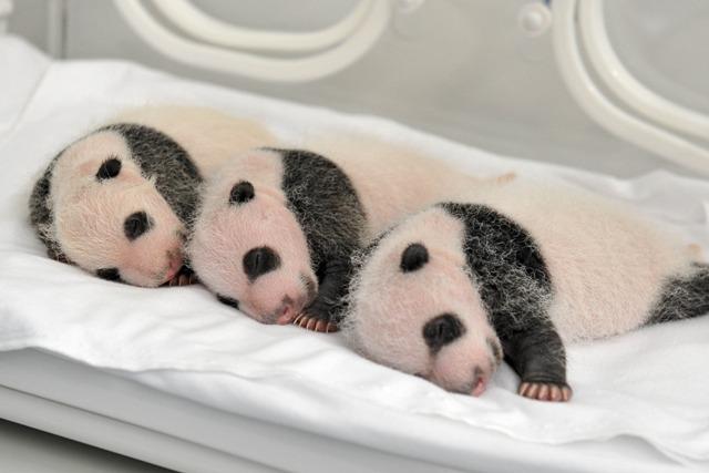 (160729) -- GUANGDONG, julio 29, 2016 (Xinhua) -- Imagen del 22 de agosto de 2014 de los trillizos de panda gigante, Mengmeng, Shuaishuai y Kuku, descansando en Guangzhou, capital de la provincia de Guangdong, en el sur de China. Una fiesta para celebrar el segundo cumpleaños de los únicos trillizos sobrevivientes del mundo, que nacieron el 29 de julio de 2014 en Guangzhou, se llevó a cabo en el Parque de Safari Chimelong el viernes. (Xinhua/Str) (rtg)