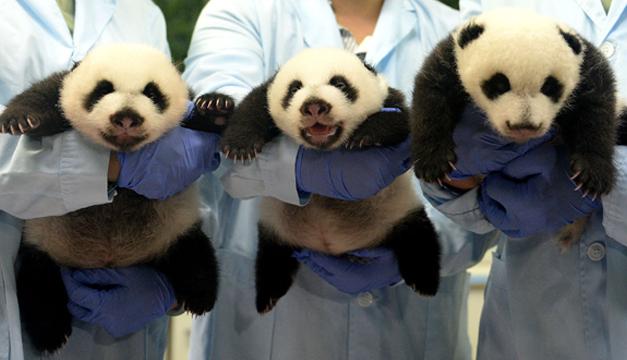 pandas xinhua