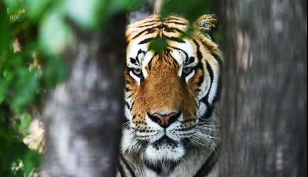 tigre-xinhua
