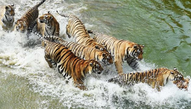 tigres siberianos-xinhua