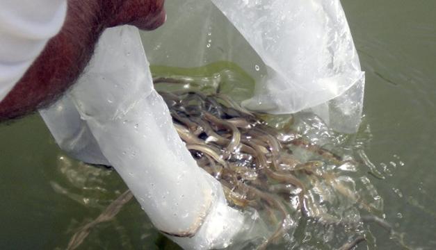 Fotografía: Rescatadas anguilas de la desembocadura, casi seca del río Cachón.