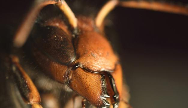 Vespa Velutina, especie invasora que pone en peligro a la abeja. EFE