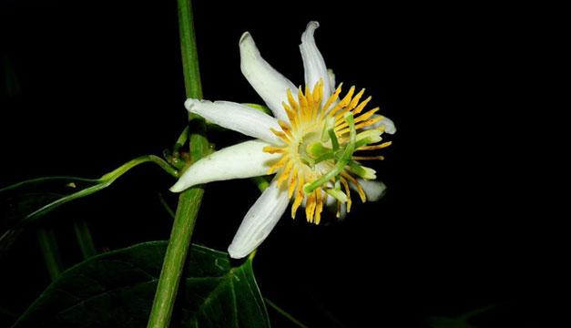 Flor-de-la-pasion-nueva-especie