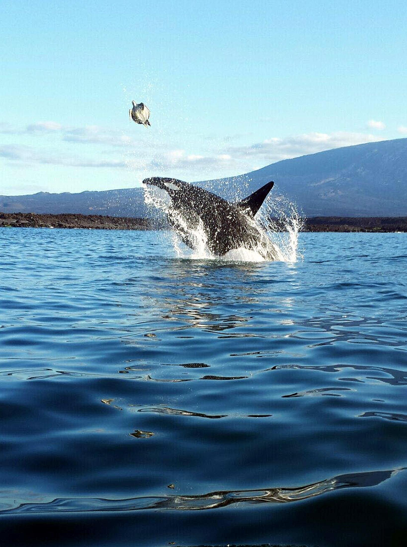 (160827) -- GALPAPAGOS, agosto 27, 2016 (Xinhua) -- Imagen cedida por el Parque Nacional Galápagos de una orca cazando una tortuga en Punta Espinosa, en la Isla Fernandina, en las Islas Galápagos, Ecuador, el 27 de agosto de 2016. De acuerdo con autoridades ambientales de Ecuador, en la Reserva Marina de Galápagos se registra continuamente el avistamiento de varias especies de cetáceos, incluyendo las orcas, lo cual ha propiciado un interés turístico y científico por esta especie. Históricamente, las orcas han estado presentes en las aguas de las Islas Galápagos, territorio que en 1990 fue reconocido como Santuario de Ballenas. Desde entonces, la Dirección del Parque Nacional Galápagos ha implementado protocolos de buenas prácticas para la observación de las ballenas. (Xinhua/Camilo Chauca para el Parque Nacional Galápagos) (egp) (vf)