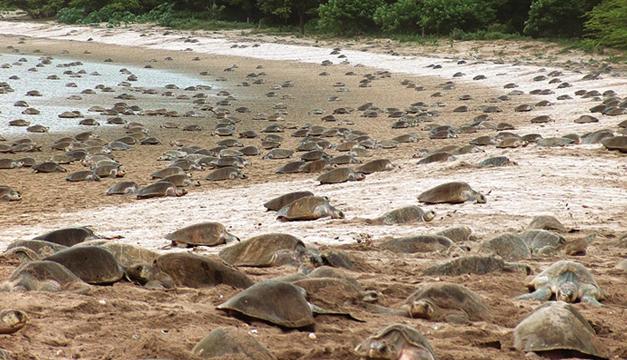 Tortugas-en-Nicaragua