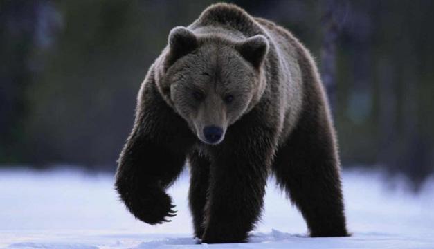 oso negro-efe
