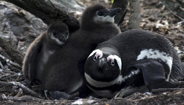 pinguino africano-efe