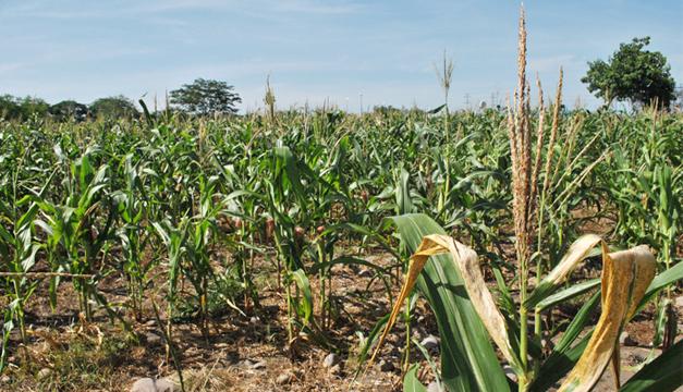 cultivo-granos-basicos