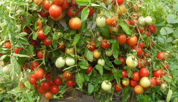 planta-de-tomates