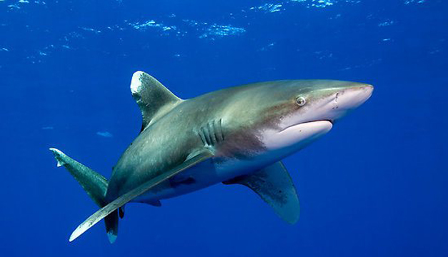 tiburon-sedoso