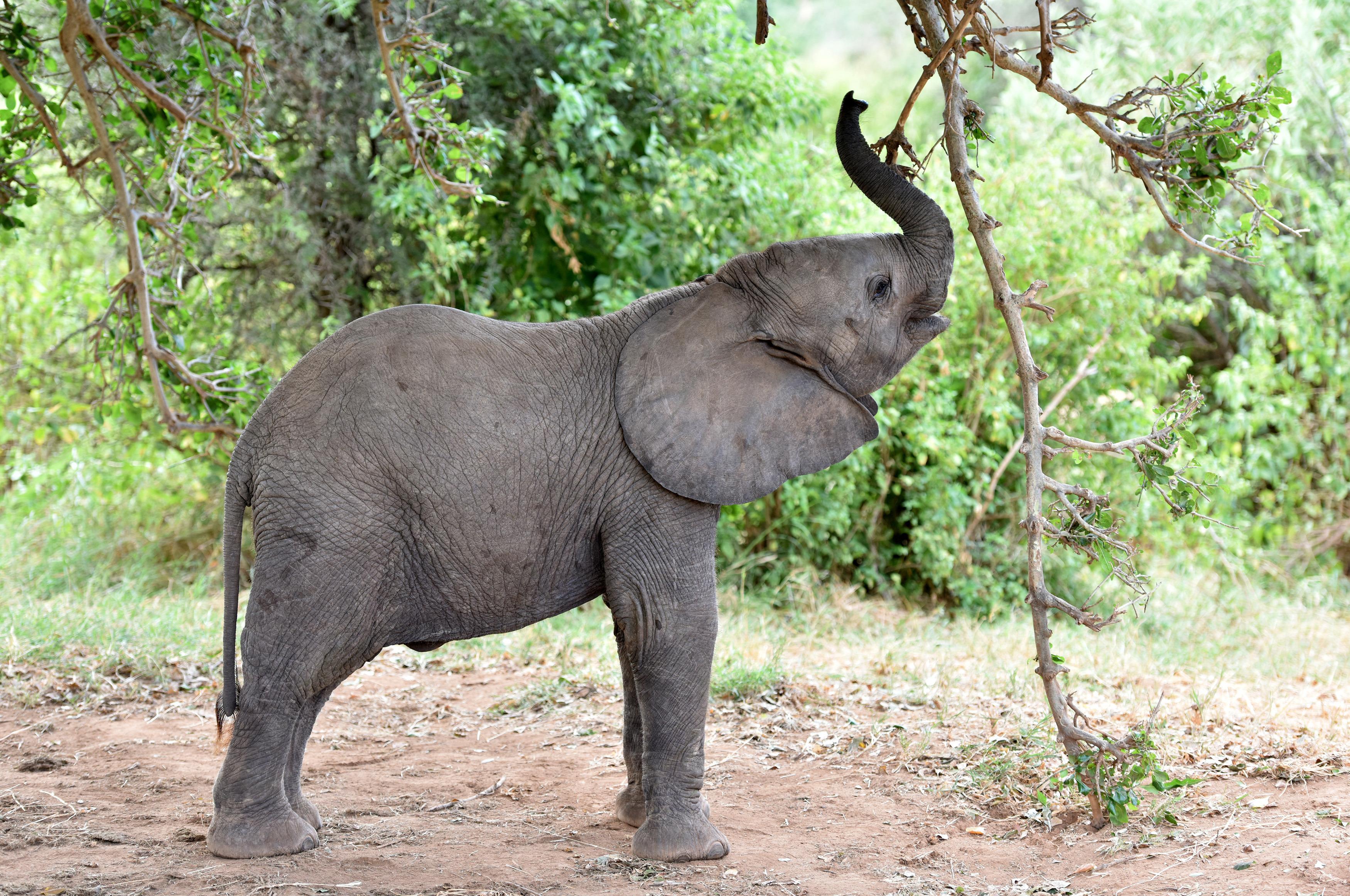 (160927) -- SAMBURU, septiembre 27, 2016 (Xinhua) -- Imagen de archivo del 1 de marzo de 2016 de un elefante descansando en la Reserva Nacional de Samburu, Kenia. La población total de elefantes de Africa ha visto la peor caída en 25 años principalmente debido a la caza furtiva en los últimos 10 años, de acuerdo con el informe del Estado del Elefante africano emitido por la Unión Internacional para la Conservación de la Naturaleza (IUCN) en la 17 reunión de la Conferencia de las Partes en la Convención sobre el Comercio Internacional de Especies Amenazadas de Fauna y Flora Silvestre (CITES) del domingo en Johannesburgo. A partir de estimaciones, se piensa que la disminución real en los últimos diez años es cercana a 111,000. El total continental se piensa que ahora es de aproximadamente 415,000 elefantes, aunque puede haber un adicional de 117,000 a 135,000 elefantes en áreas no estudiadas sistemáticamente. (Xinhua/Sun Ruibo) (jg) (ah)