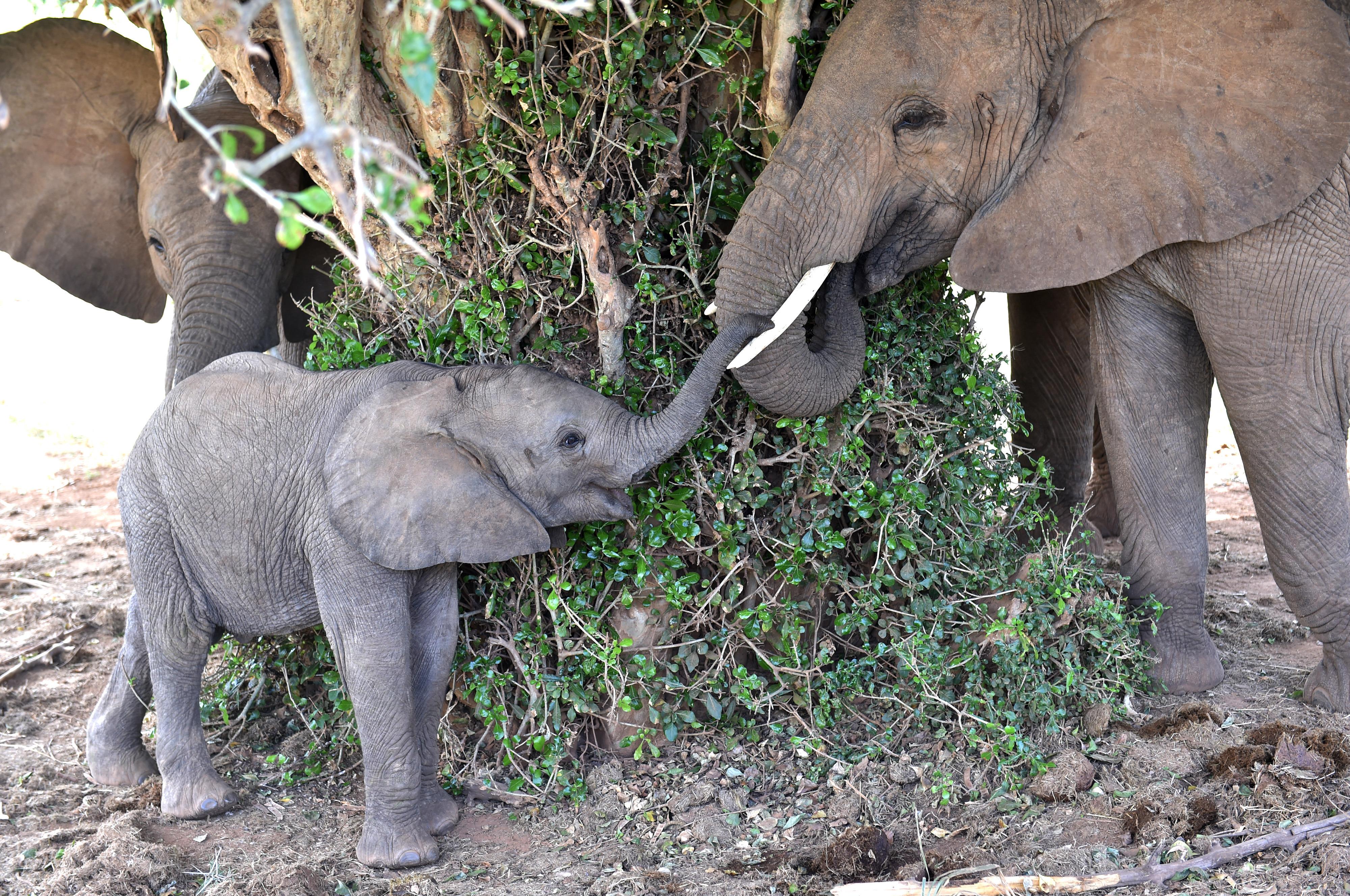 (160927) -- SAMBURU, septiembre 27, 2016 (Xinhua) -- Imagen de archivo del 1 de marzo de 2016 de elefantes descansando bajo la sombra de un árbol en la Reserva Nacional de Samburu, Kenia. La población total de elefantes de Africa ha visto la peor caída en 25 años principalmente debido a la caza furtiva en los últimos 10 años, de acuerdo con el informe del Estado del Elefante africano emitido por la Unión Internacional para la Conservación de la Naturaleza (IUCN) en la 17 reunión de la Conferencia de las Partes en la Convención sobre el Comercio Internacional de Especies Amenazadas de Fauna y Flora Silvestre (CITES) del domingo en Johannesburgo. A partir de estimaciones, se piensa que la disminución real en los últimos diez años es cercana a 111,000. El total continental se piensa que ahora es de aproximadamente 415,000 elefantes, aunque puede haber un adicional de 117,000 a 135,000 elefantes en áreas no estudiadas sistemáticamente. (Xinhua/Sun Ruibo) (jg) (ah)