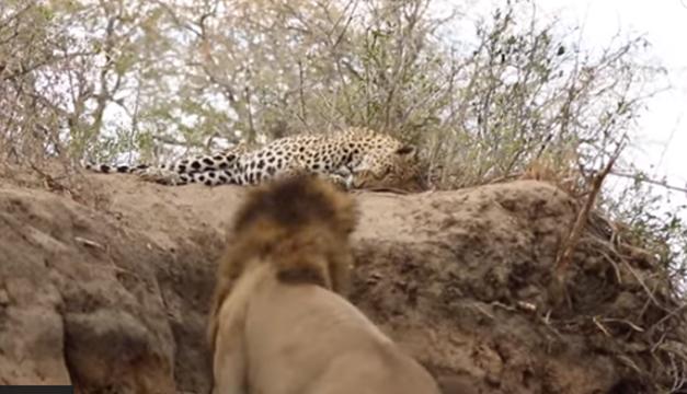 leopardo-leon