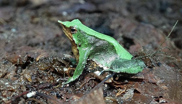 ranita-darwin1
