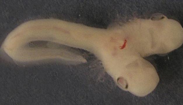 tiburon-dos-cabezas-1