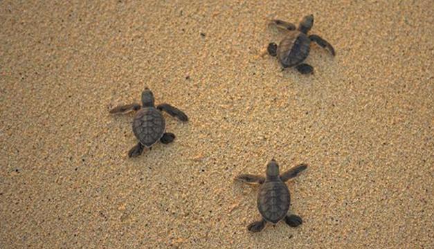 tortugas-huevos