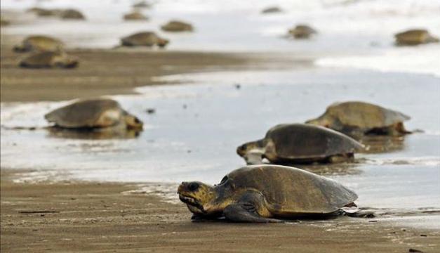 tortugas-loras