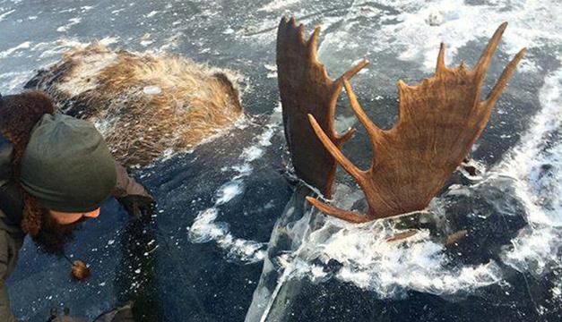alces-congelados-alaska