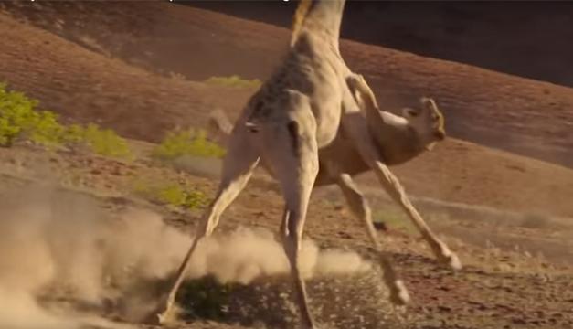 jirafa-pelea-leon