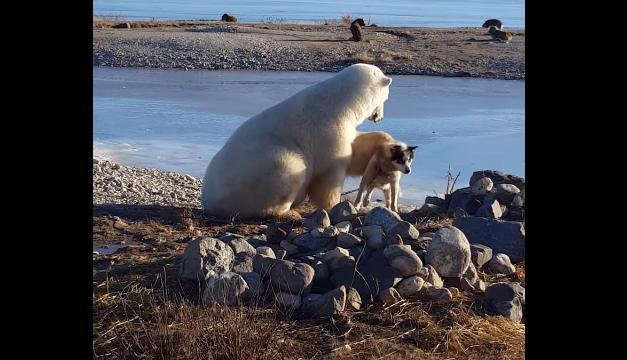 oso-polar-perro-trineo