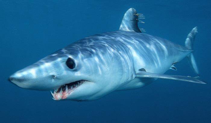tiburon-mako