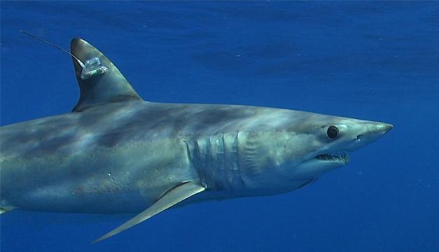 tiburon-trump