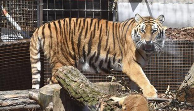 tigre-efe