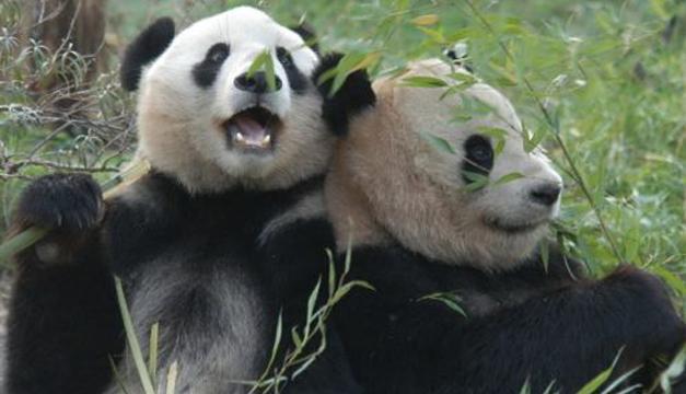 osos-pandas