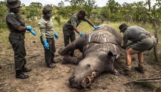 Fotos de rinocerontes muertos 37