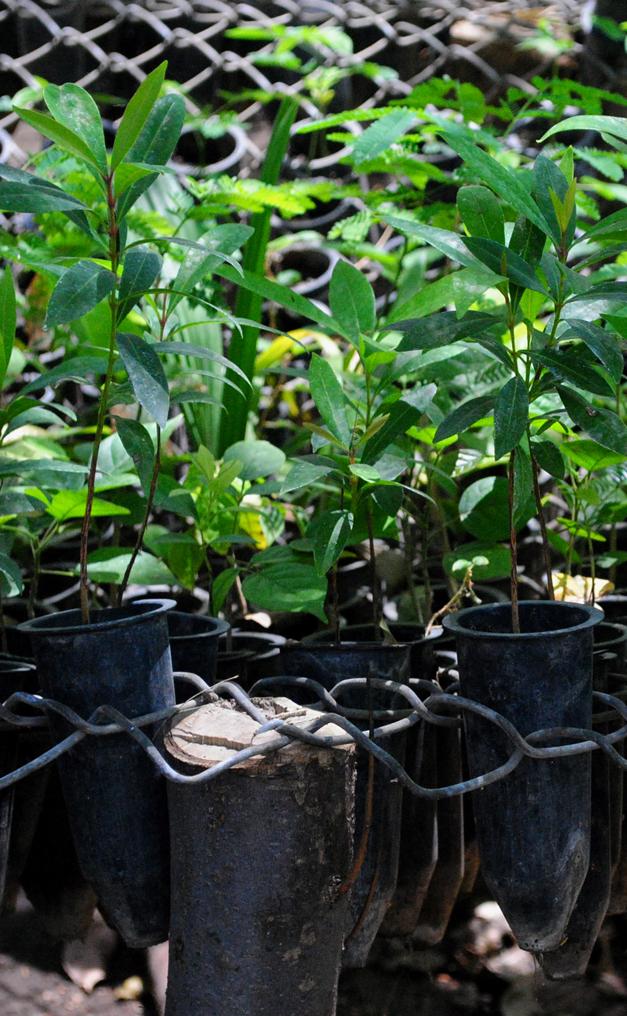 Rboles para reforestar a 10 centavos diario el mundo for Arboles de hoja perenne para clima frio
