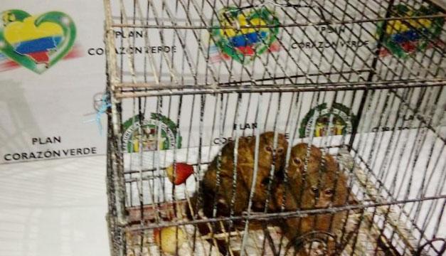 Recuperados los tres monos titis que fueron robados del Zoológico de Medellín