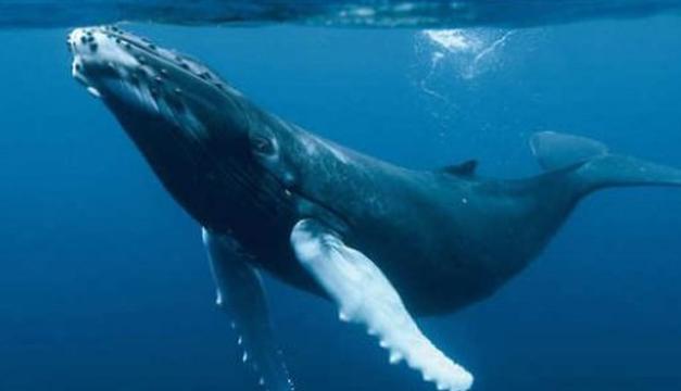 La ciencia explica por qué las ballenas crecieron tanto