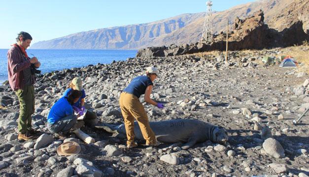 Colocan transmisores a elefantes marinos para la conservación de la especie