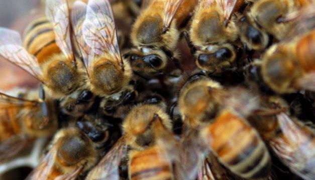 Crean el primer mapa mundial de las abejas