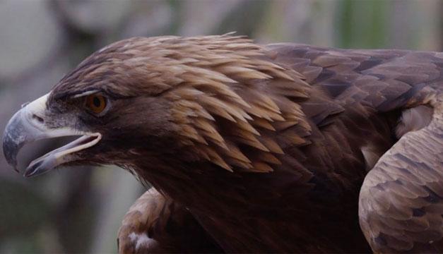Detectan en México nuevo territorio de anidación de águila real