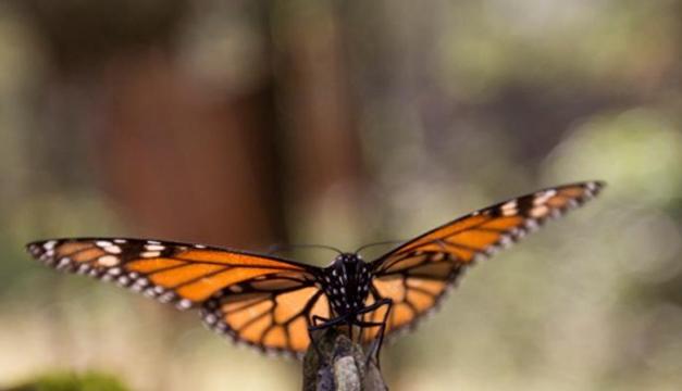 Disminuye 14,7% superficie de bosque ocupada por mariposa monarca en México