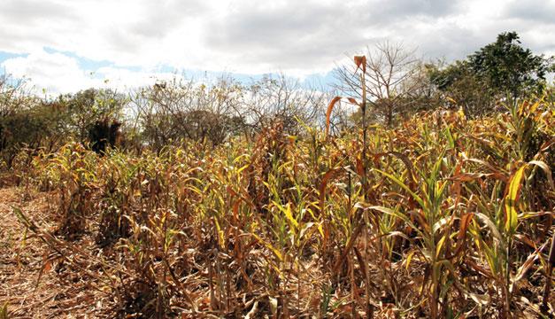 Maíz Dañado Por Sequía Ya Se Vende Como Alimento Para Ganado