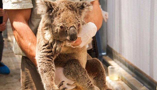 Image result for incendio australia montañas azules koalas