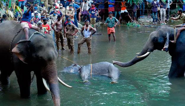 Muere una elefanta preñada al consumir una fruta llena de petardos en India