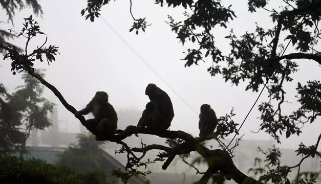 Miles de monos aterrorizan una ciudad turística en India