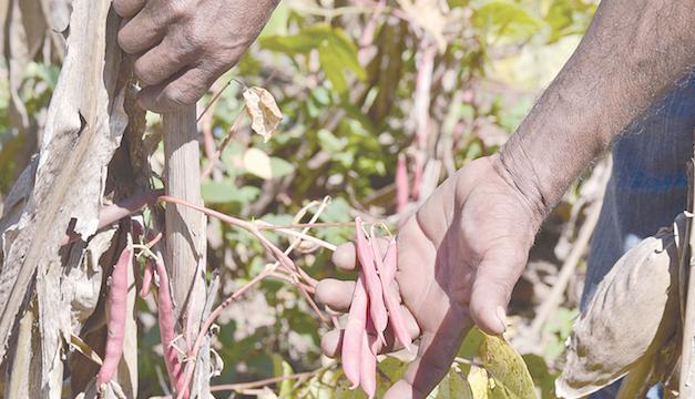 MAG reporta 369,000 quintales perdidos en  frijol y maíz solo por Eta