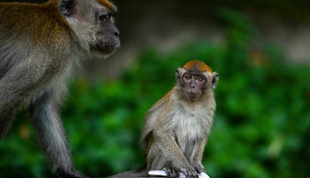 Monos de zoológico prefieren el ruido del tráfico al de la naturaleza